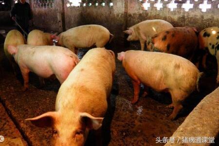 猪丹毒病近期多发,请做好防范!