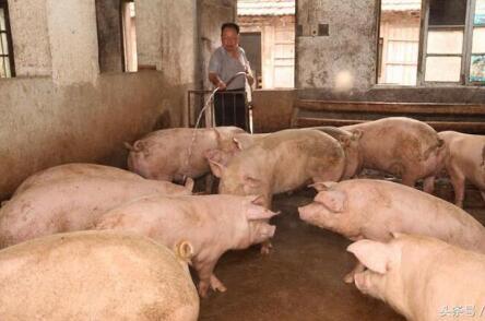 听老兽医讲干货——母猪妊娠期到底如何正确免疫