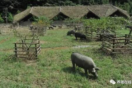 猪吃食时咳嗽多半是得了猪喘气病 你可以这样治疗和预防