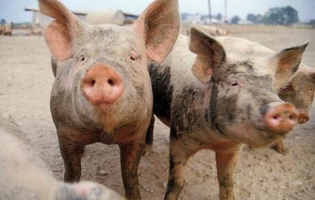 想知道8月9月份猪价走势?除了看供需别忘了看消费!