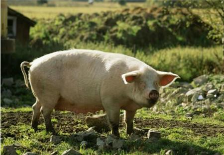 猪价已涨0.85!预计猪价还有回落的风险