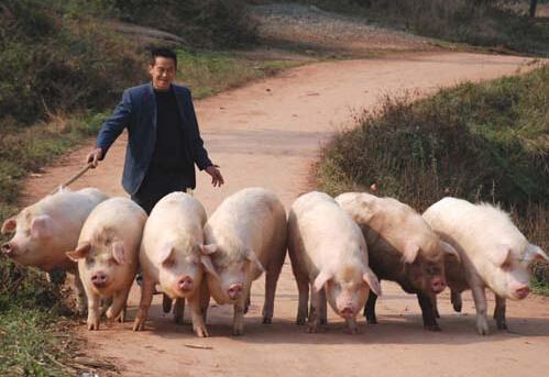 散养户如何确保猪病的有效预防