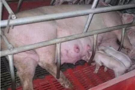 怀孕母猪的问题之便秘、产仔率低