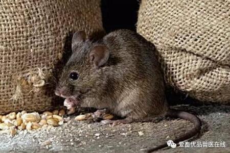 猪场怎样灭鼠 老鼠对猪场的危害