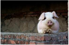 夏季如何做好育肥猪饲养管理?
