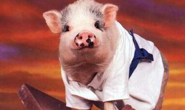 生猪价格还能涨一个月,超不过8块/斤!