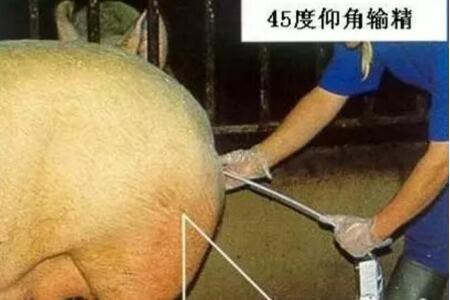 猪场标准化作业流程系列:配种