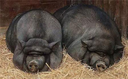 养猪无巧,窝干食饱!