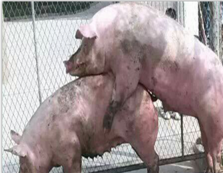 后备母猪诱情管理要点!
