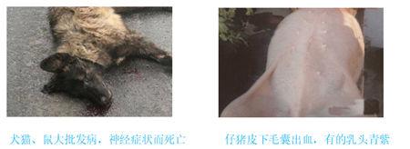 猪病动态早知道:猪伪狂犬病的现状