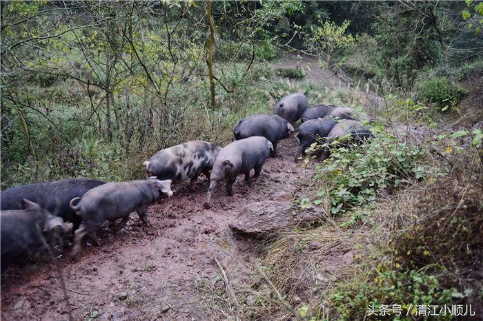 在湖北省恩施市白杨坡镇朝阳坡,这里山大人稀,森林资源十分好,肖成林,看到这里资源优势,决定在这里大山深处放养黑猪。
