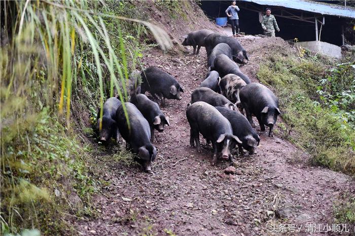 猪可以放大山里养?喝山泉水吃山野菜,5点回圈吃饭!
