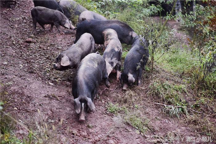 黑猪是当地很好的一个养殖资源,肖成林,在城区开有山庄,经营餐饮业,他在农村这里租了上百亩的山林,在农村山林里装上栅栏、栏杆,上百亩的山林,成为了黑猪们的乐园!