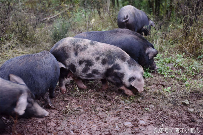 肖成林2014年成立湖北省恩施市百草池生态养殖专业合作社,采用原生态放养和科学管理相结合的方式,打造安全无污染的恩施黑猪。