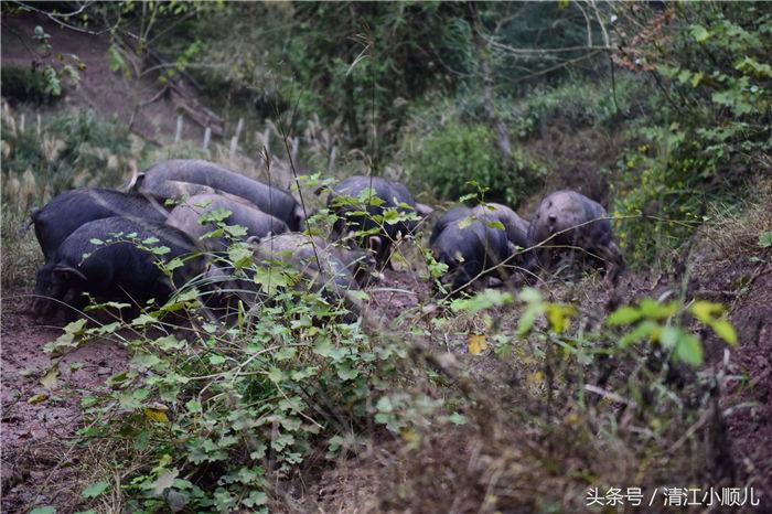 """这里的黑猪""""最自由""""!从早上7、8点开始,肖成林生态养殖合作社的猪开始被放养到山里,早上,这些猪出去的时候,不给猪喂食,让猪在山里去觅食、玩耍。在山里,这些猪喝山泉水、吃山野菜、拱富硒土壤,在山里奔跑嬉戏,下午5点,再在圈里喂食。"""