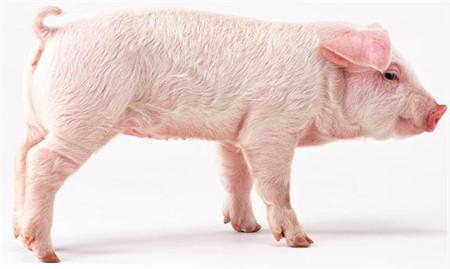 猪舍清粪工艺种类以及优缺点,猪友需合理选择!