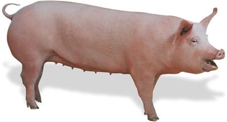 夏季猪场呼吸道这么严重?你知道原因吗?