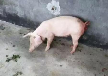 【收藏】各阶段猪脱肛的简易处理