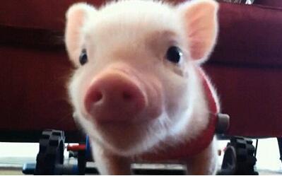 养猪过程中发生疫情后的补栏措施