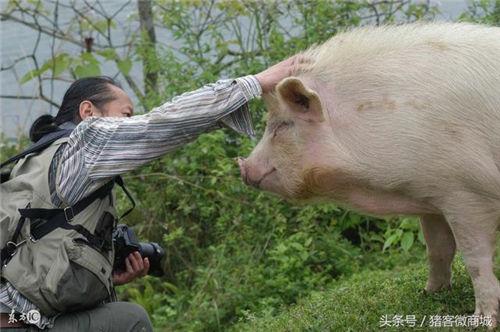伤不起,夏季要预防猪的弓形虫病