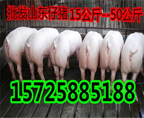 今天仔猪价格15725885188
