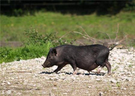 8月中下旬猪行情分析 屠企手中没有多少底牌可打