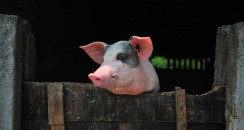 猪价此轮阶段性上涨基本结束 大猪应尽快出栏