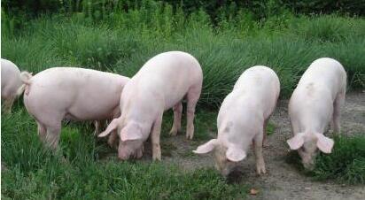 东北养猪业迎来利好!农业部:东北肉类将超全国总量15%