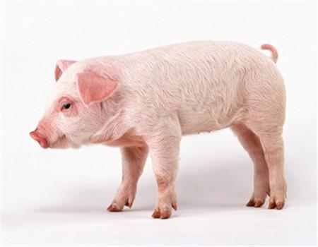 八月猪价将在13.7-14.3元间震荡 上半月要普遍高于下半月
