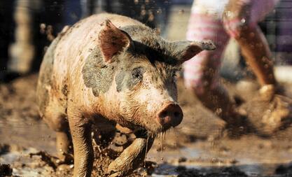 猪价近两日快速回落 养殖户还要稳住阵脚才行