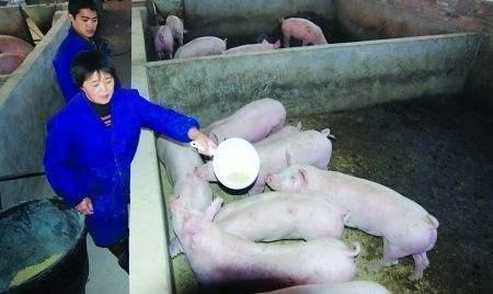 农村养猪人不用怕:做好这3点,谁也灭不了你!