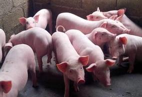 2017年8月16日(20至30公斤)仔猪价格行情走势