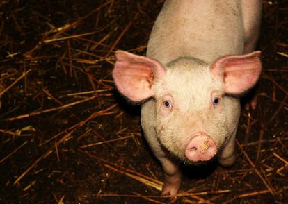 这样的猪要是不淘汰?你的猪场可能会损失上百万!