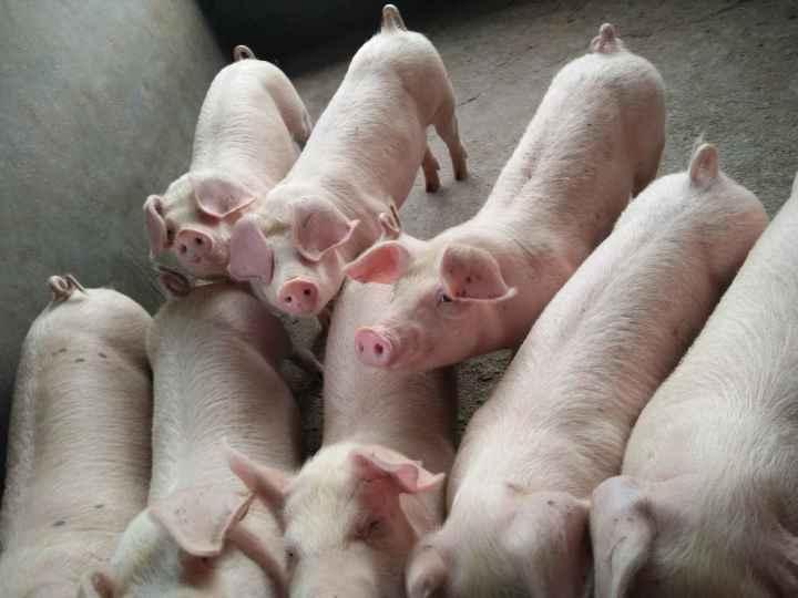 2017年8月14日全国各省市猪白条肉价格行情走势