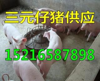 山东仔猪繁育基地仔猪报价行情15216587898
