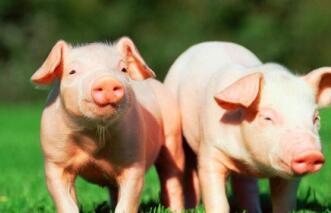 全国首批VIP猪场合伙人开放申请!养猪人必看!