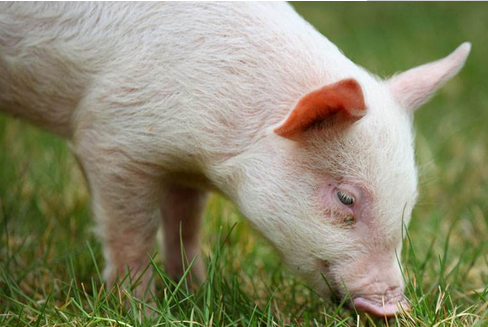 如何保护仔猪消化道正常功能来控制断奶腹泻?
