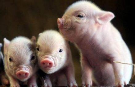 中英新协议:约17亿元的进口猪肉将进入中国市场