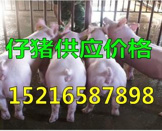 山东出售仔猪今日仔猪报价15216587898