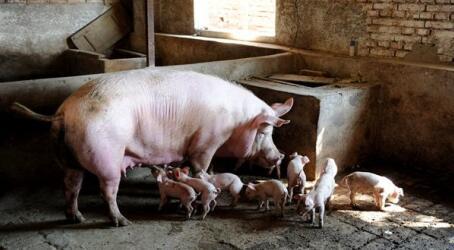 存栏下降猪价不升,因为大猪场效率比散养户高30%
