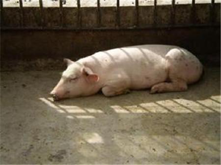 猪链球菌的4种表现!