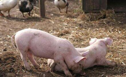 养猪业冲击重重——改革与生存矛盾应该降到最小化