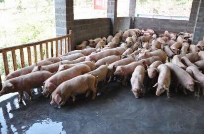 广西:上林县巷贤镇养猪能人带领贫困户脱贫致富