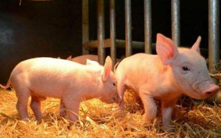 17亿元进口肉凶猛来袭 北爱尔兰首次成功对华出口猪肉产品