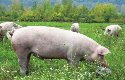 四季度消费需求增加情况下,猪价将出现阶段性反弹