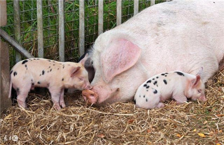 猪场这2个问题解决好了,更好养