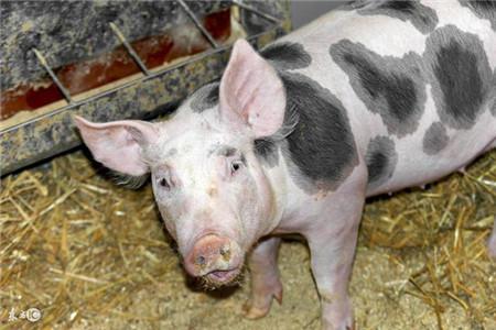养猪人巧治链球菌,这些办法要知道