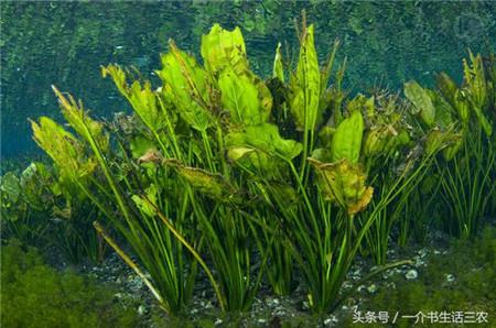 路边常见的一种植物,没想到治疗猪病非常好!