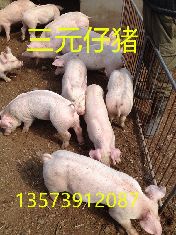 哪里仔猪价格便宜山东仔猪价格山东小猪批发价格