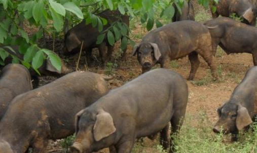 养殖户的机会又来了?未来我国养猪业母猪会越来越少